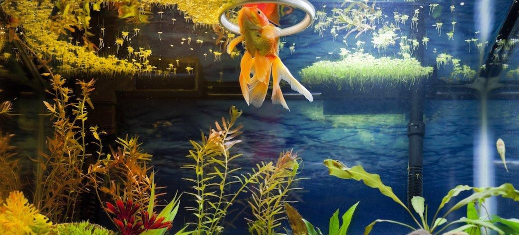 An elegant orange fish swims in an aquarium.
