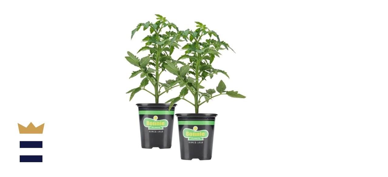 Bonnie Plants Better Boy Tomato Plants