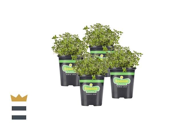 Bonnie Plants Lemon Thyme Live Herb Plants