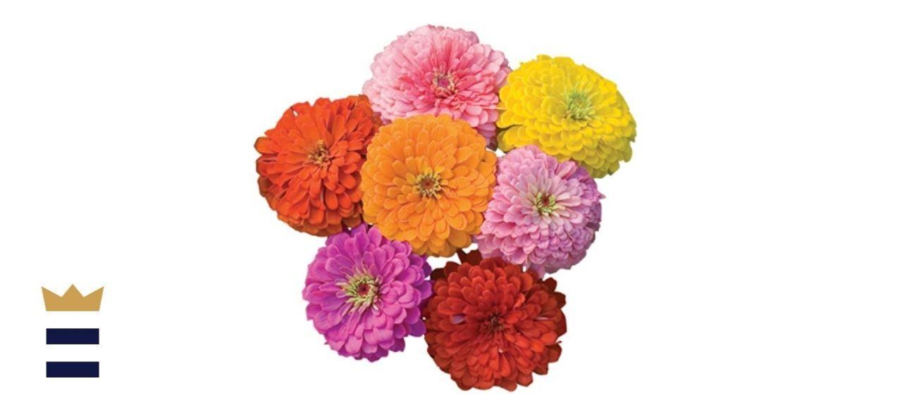 Burpee Giant Flowered Mixed Colors Zinnia Seeds
