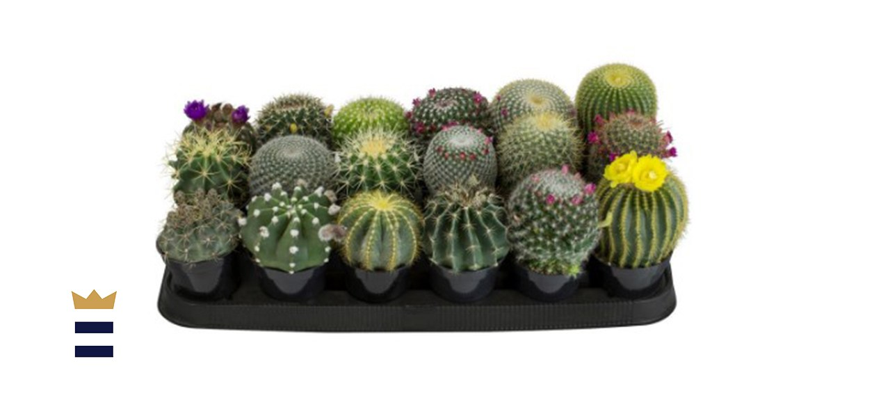 9 cm Cactus Assortment Plant (18-Pack)