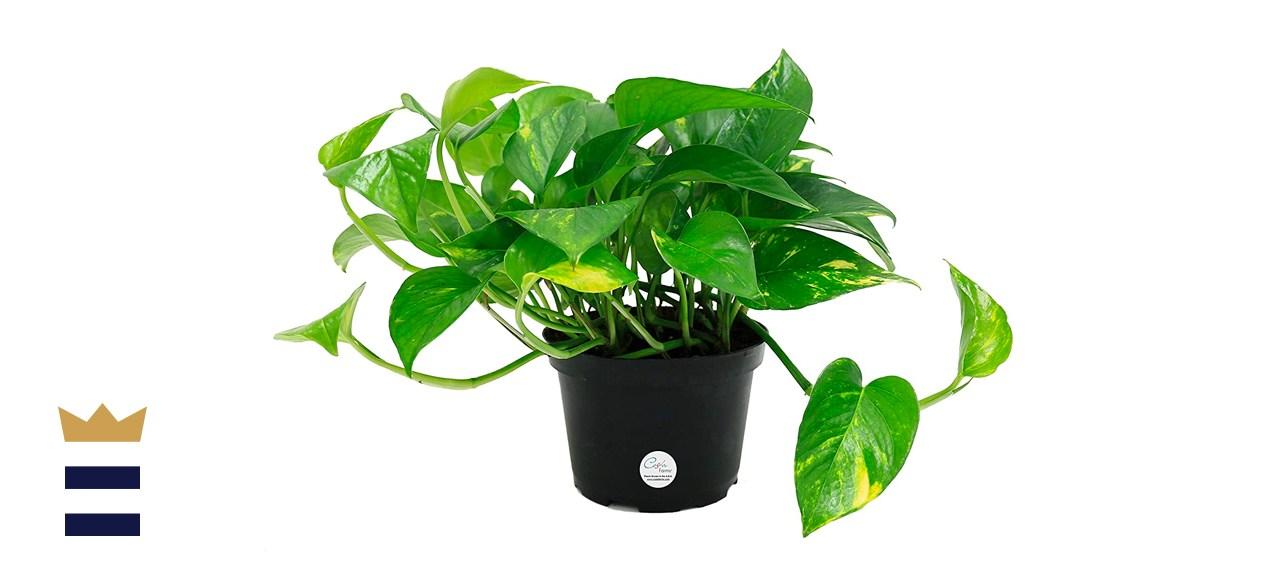 Costa Farms Easy Care Devil's Ivy Golden PothosPlant