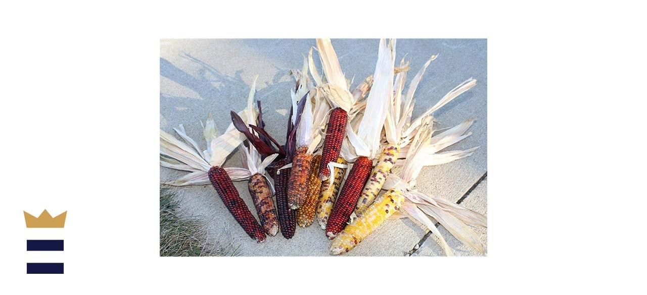 CCC Mini Decorative Corn