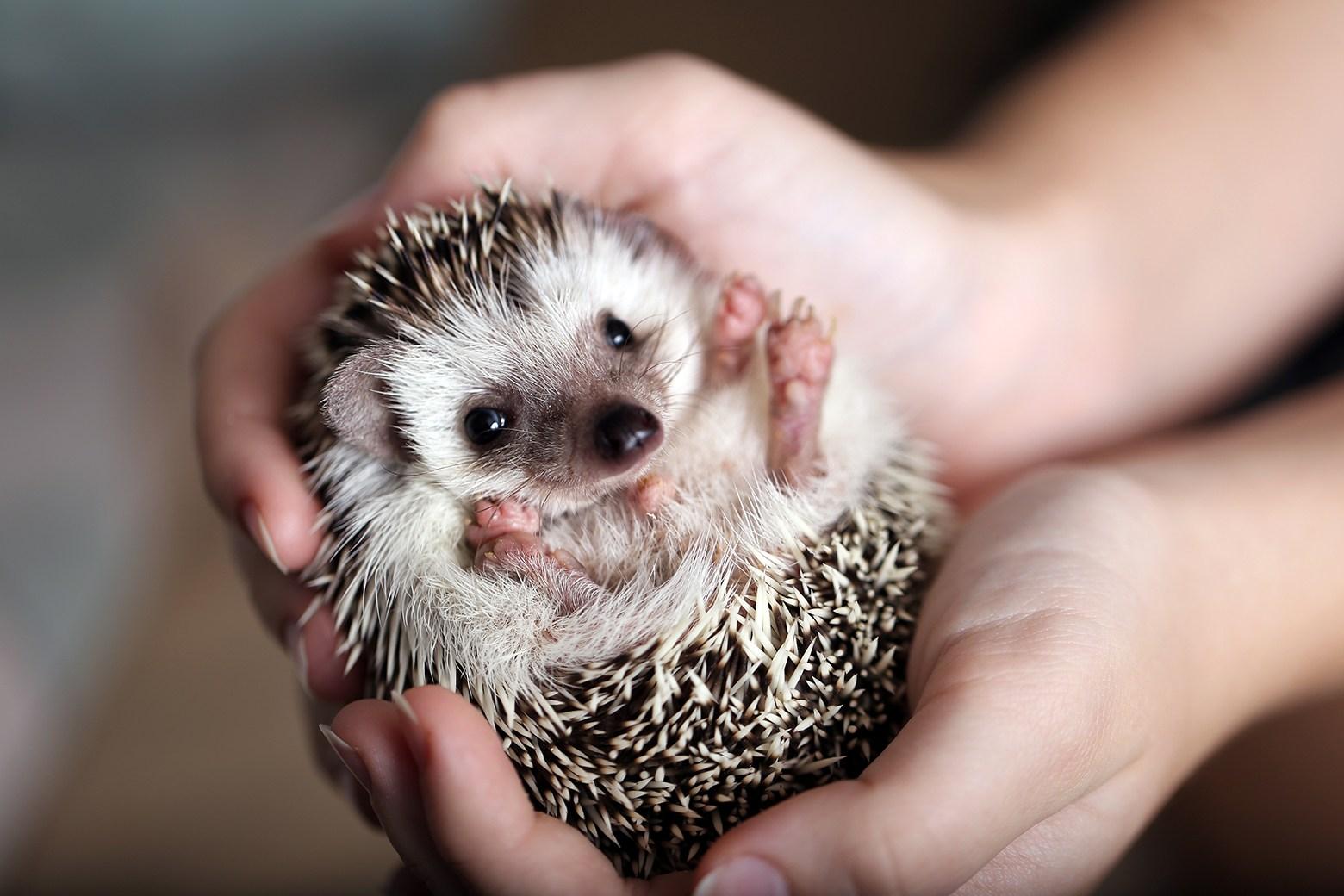 hedgehog food1