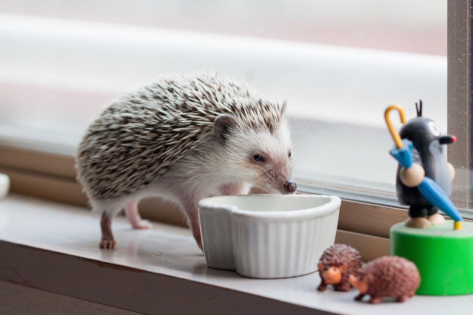 hedgehog food3