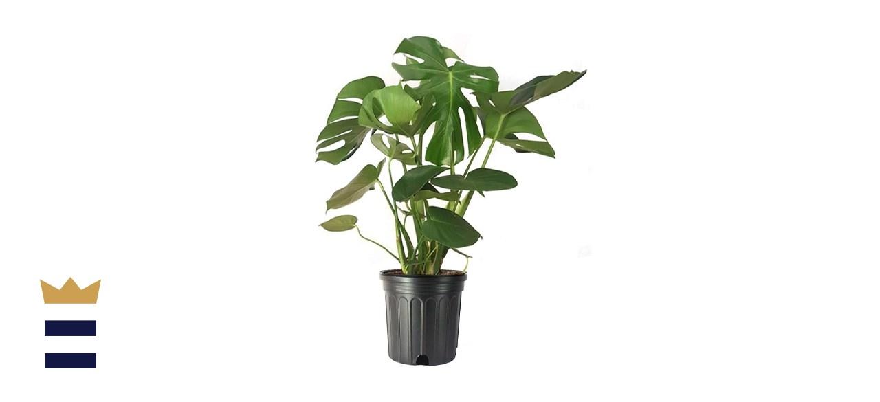 American Plant Exchange Split Leaf Philodendron Monstera Deliciosa Live Plant