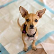 dog training pad2
