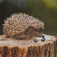 hedgehog food2